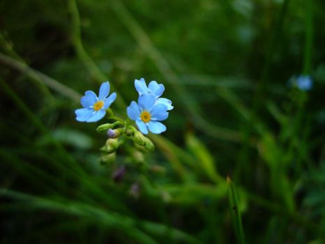 Forget me nots by gshegosh