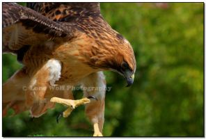 Redtailed Hawk 001 by LoneWolfPhotography