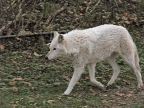 White Wolf Stock 11 by HOTNStock