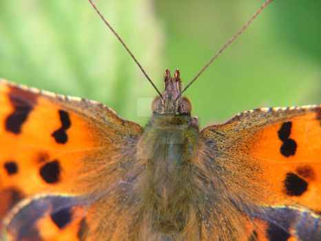 Comma Butterfly 2015 08 02 Close Up by Calilasseia