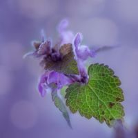 Red Deadnettle by SarahharaS1