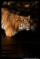 Tiger in the water by TVD-Photography