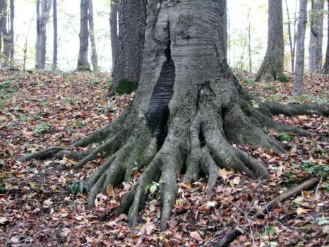 Tree Roots Stock by SingularStock