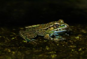 Frog in muck by Manyroomsphotography