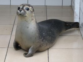 little seal by Luphia