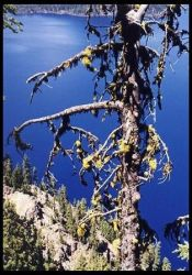 tree, Crater Lake by Nimril