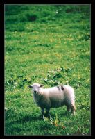 Its a Sheep by ash