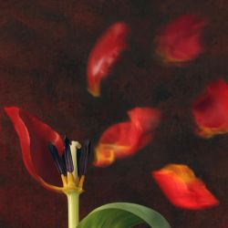 Tulip and windy mood by Floriandra