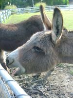 .stock: donkey 1. by guavon-stock