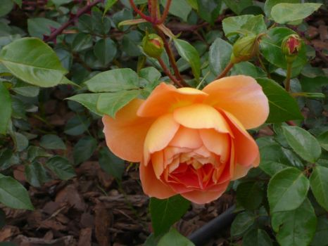 Rose by RositaGata
