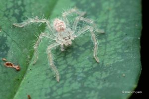 Young Huntsman Spider by melvynyeo