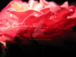 Rose and rain by AtelierZUN