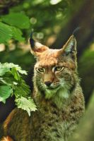 Charming Lynx by TheEmpatheticCat