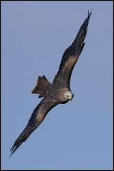 Red Kite II by nitsch