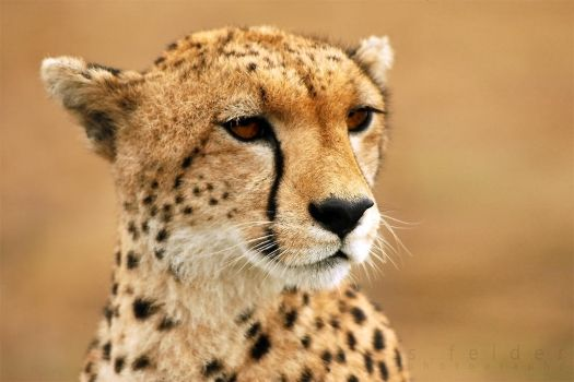 CHEETAH by goldhamster