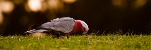 Galah by hawkeye1