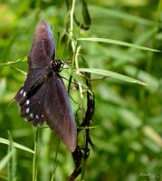 Butterfly Series (Pipevine Swallowtail) by sioranth
