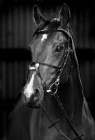 Portrait of an ex racehorse by equinelovex
