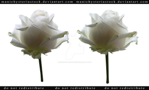 White Rose Cut Out 3 by ManicHysteriaStock