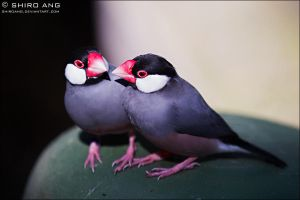 Java Sparrow - 01 by shiroang