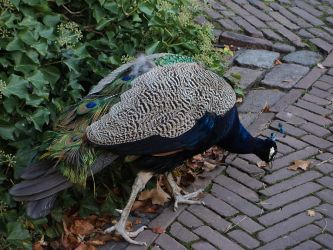 peacock by marob0501