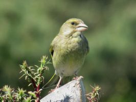 Greenfinch by Sia-the-Mawile