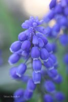 Purple Grape Hyacinth (Muscari) by ThePurpleLilac