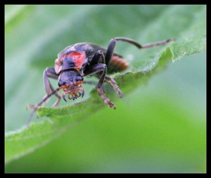 Cantharis Rustica by arbitrary