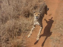 The Amazing Hover-Cheetah by bestgamer