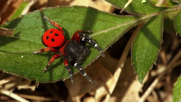 ladybird spider by blackasmodeus