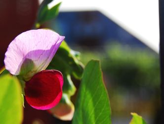 Purple Podded Peaseblossom by 0olong