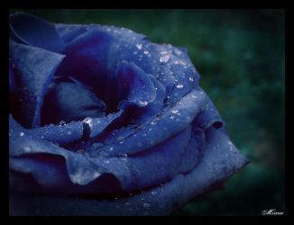 blue rose by MirceAdrian