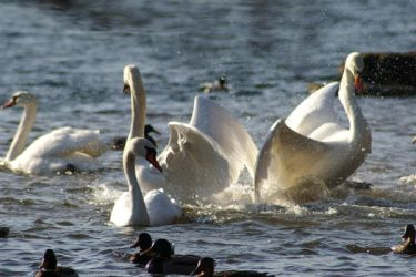 Swans fight by telepatic