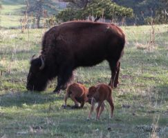 Bison Two Calves 28April2017 by MSchmidtProductions