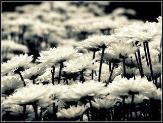 Waves of white chrysanthemums by wenxiang1981