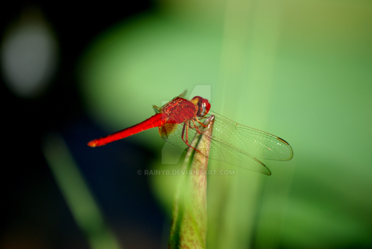 Red Dragonfly by RainyB
