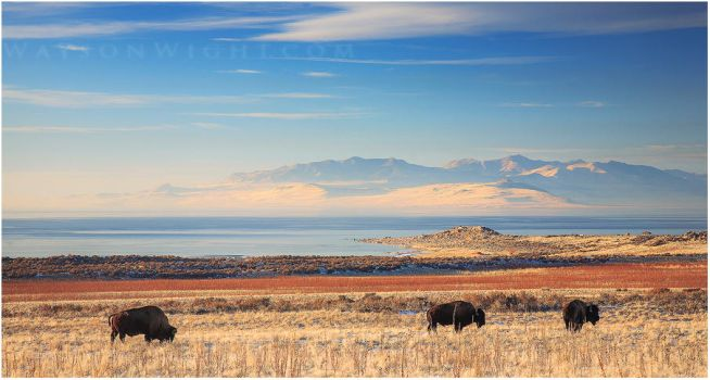 Bison, Blue and Gold by tourofnature