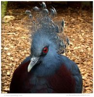 Victoria Crowned Pigeon II by In-the-picture