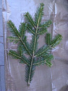 Stock: Silver Fir Leaf by FantasyFailure-Stock
