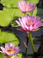 Three Water Lilies by melsofmaui