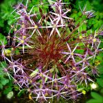 Rainy Allium Flower by KateHodges