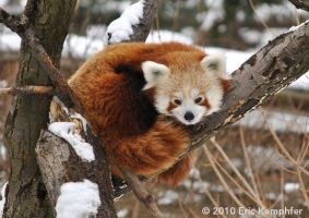 Red Panda Napping by EricKemphfer