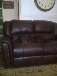 Brown DOG On Brown Couch by PridesCrossing
