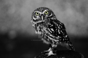 owl photoshopped by Perseus67