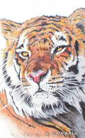 Tiger Yellow Eyes (ball point pen drawing) by kfairbanks