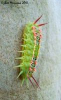 Four Spotted Moth Larva by BreeSpawn
