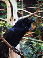 Common Raven - My Home by MotherBlessing
