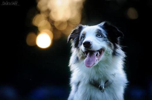 Border Collie by FotoAuno