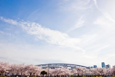 The cherry trees are in full bloom. by snzi-ph