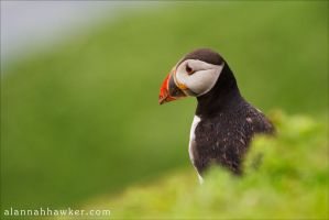 Puffin 3 by Alannah-Hawker